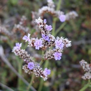 Photographie n°147404 du taxon Limonium binervosum (G.E.Sm.) C.E.Salmon