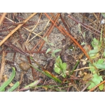 Kickxia cirrhosa (L.) Fritsch (Linaire à vrilles)
