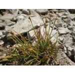 Carex glacialis Mack. (Laiche des glaciers)