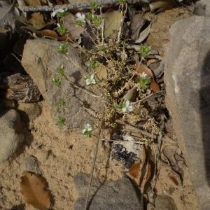 Photographie n°147584 du taxon Arenaria aggregata (L.) Loisel. [1827]