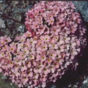 - Androsace alpina (L.) Lam.