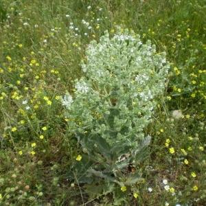 Photographie n°147664 du taxon Salvia aethiopis L.