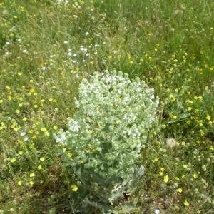 Photographie n°147668 du taxon Salvia aethiopis L.