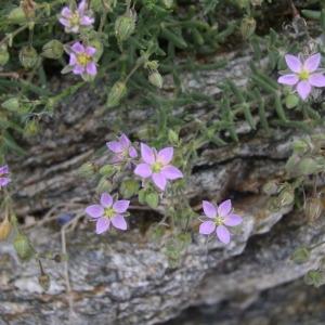 Photographie n°147694 du taxon Spergularia marina (L.) Besser [1821]