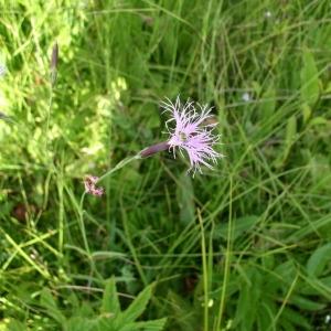 Photographie n°147695 du taxon Dianthus superbus L.