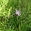 Christophe GIROD - Dianthus superbus L.