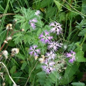 Photographie n°147696 du taxon Dianthus superbus L.