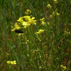 Photographie n°147746 du taxon Bunias orientalis L.