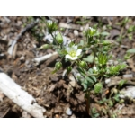 Cerastium ramosissimum Boiss. (Céraiste très ramifié)