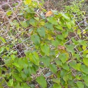 Photographie n°147787 du taxon Aristolochia altissima Desf.