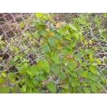 Aristolochia altissima Desf.