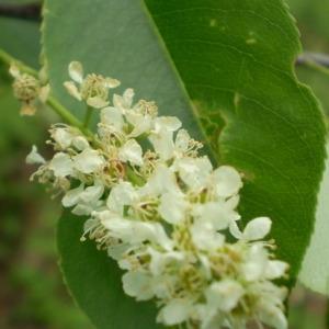 Photographie n°147837 du taxon Prunus serotina Ehrh. [1784]