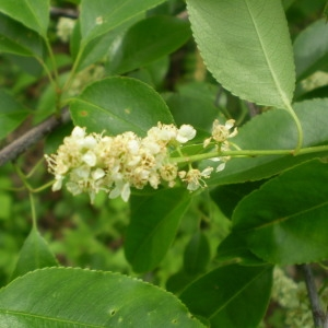 Photographie n°147839 du taxon Prunus serotina Ehrh. [1784]
