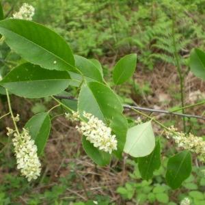 Photographie n°147840 du taxon Prunus serotina Ehrh. [1784]
