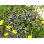 Eryngium pusillum L. (Panicaut de Barrelier)