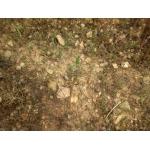 Lythrum thymifolia L. (Lythrum à feuilles de thym)