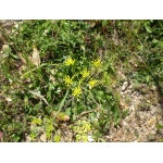 Kundmannia sicula (L.) DC. (Fonoll bord)