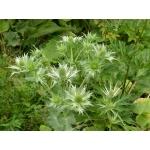 Eryngium giganteum M.Bieb. (Panicaut géant)