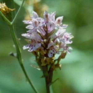 Photographie n°148143 du taxon Dactylorhiza fuchsii (Druce) Soó