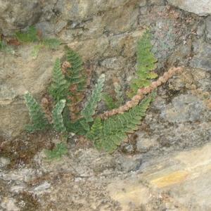 Photographie n°148153 du taxon Cosentinia vellea (Aiton) Tod. [1866]