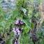 Emmanuel Stratmains - Ballota nigra subsp. meridionalis (Bég.) Bég.