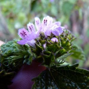 - Ballota nigra subsp. meridionalis (Bég.) Bég.