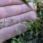 Emmanuel Stratmains - Spergularia rubra (L.) J.Presl & C.Presl