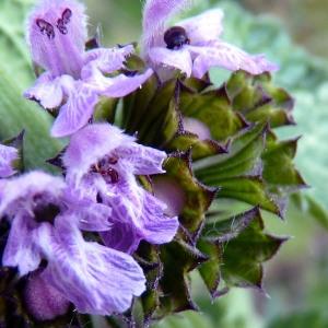 Ballota nigra subsp. foetida (Vis.) Hayek [1929] (Ballote du Midi)