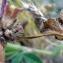 Emmanuel Stratmains - Trifolium glomeratum L. [1753]