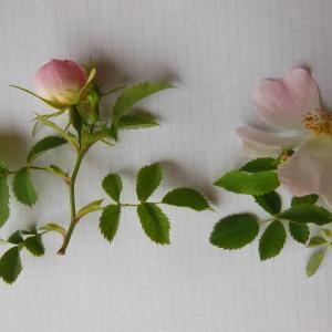 Photographie n°148337 du taxon Rosa canina L. [1753]