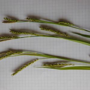 Photographie n°148357 du taxon Carex sylvatica Huds. [1762]