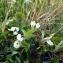 Emmanuel Stratmains - Trifolium subterraneum L. [1753]