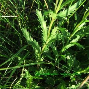Photographie n°148414 du taxon Leucanthemum vulgare Lam. [1779]
