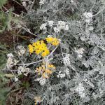 Jacobaea maritima (L.) Pelser & Meijden subsp. maritima (Cinéraire maritime)