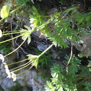 Photographie n°148470 du taxon Anemone narcissifolia L. [1753]