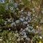 BERNARD Ginesy - Nigella damascena L. [1753]