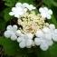 David Mercier - Viburnum opulus L.