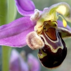 Ophrys apifera var. aurita Moggr. [1869]