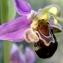 BERNARD Ginesy - Ophrys apifera var. aurita Moggr. [1869]