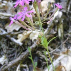 Photographie n°148533 du taxon Silene armeria L. [1753]