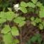 Michaël Martinez - Rubus caesius L. [1753]