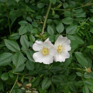 Photographie n°148568 du taxon Rosa canina L. [1753]