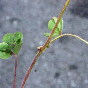 Photographie n°148603 du taxon Trifolium subterraneum L. [1753]