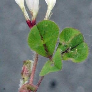 Photographie n°148605 du taxon Trifolium subterraneum L. [1753]