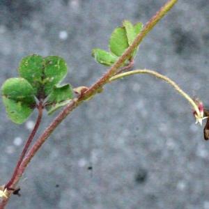 Photographie n°148608 du taxon Trifolium subterraneum L. [1753]