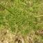 Florent Beck - Conium maculatum L. [1753]