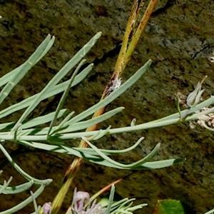 Photographie n°148650 du taxon Linaria repens (L.) Mill. [1768]