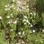 Liliane Roubaudi - Halimium umbellatum subsp. umbellatum