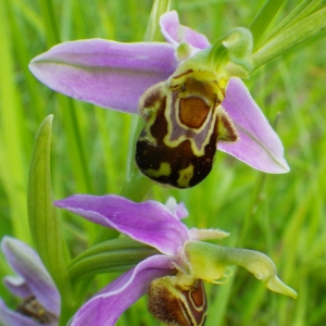 Photographie n°148709 du taxon Ophrys apifera Huds. [1762]