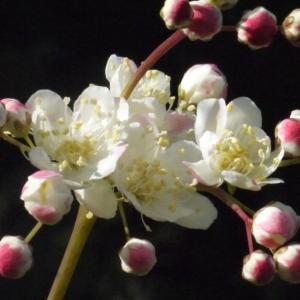 Filipendula vulgaris Moench (Filipendule commune)